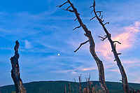 Old tree snags and moon. Cape Breton Island. Cape Breton Island. <br />
