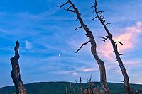 Old tree snags and moon. Cape Breton Island. Cape Breton Island. <br />Pleasant Bay<br />Nova Scotia<br />Canada