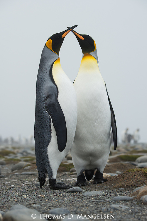 A pair of King Penguins bond in Salisbury Plain, South Georgia Island.
