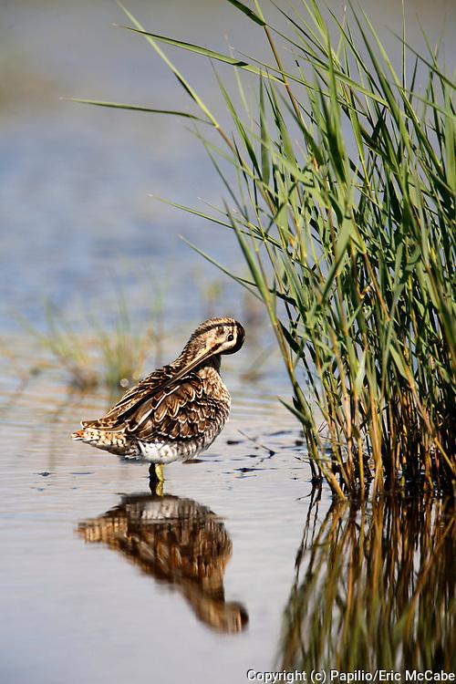 Common Snipe preening in pond at Montrose Basin Reserve, Angus<br /> UK<br /> bird<br /> aves<br /> wader<br /> water<br /> mud<br /> waterside<br /> marsh<br /> bog