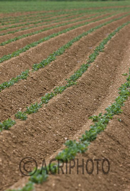 12.5.2011 Young Potato Plants In A Field.©Tim Scrivener 07850 303986