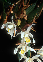 Coelogyne flaccida orchid species