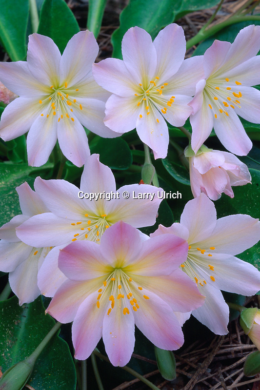 Tweedy's lewisia,  Highway 2 <br />