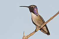 Costa's Hummingbird - Calypte costae - Adult male