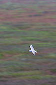 Black headed Gull (Chroicocephalus ridibundus) in flight over Salt marsh, Morecambe Bay, Lancashire, searching the strandline for food that the spring tide may have brought in. A high spring tide floods the Saltmarsh completely. Morecambe Bay. Common visitor to the garden. Adaptation into urban areas appears to date only to the 'Little Ice-Age', a run of cold-winters in the 1880s and 1890s. Factory workers would feed the birds scraps during their lunch hours.