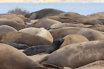 Northern elephant seals at Ano Nuevo State Park