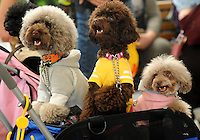 Toy poodles dressed in their best hoodies  at the Osaka Pet Expo fashion show, Osaka, Japan.<br /> 24-Sep-11<br /> <br /> Photo by Richard Jones