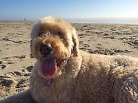 Bella the Dog, running playing on the beach near Twin Rocks / Rockaway, in Oregon