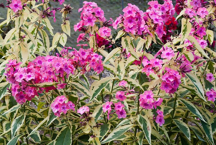 Phlox paniculata becky towe plant flower stock photography phlox paniculata becky towe 117 variegated garden phlox with pink fragrant flowers mightylinksfo