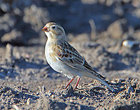 Male McCown's longspur in winter. One of hundreds feeding in a plowed under corn field near Granger, TX.