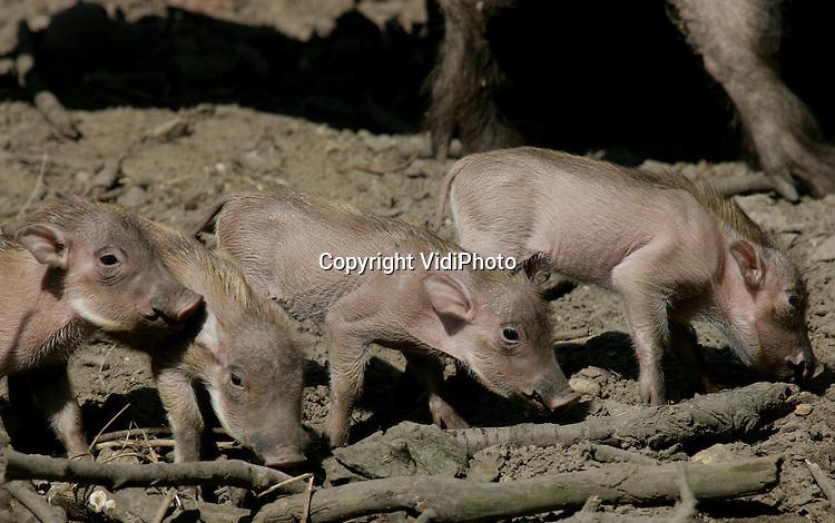 Foto: VidiPhoto..RHENEN - De vier pasgeboren wrattenzwijntjes in Ouwehands Dierenpark in Rhenen mochten woensdag voor het eerst naar buiten. De geboorte van vier wrattenzwijntjes bij één moeder is niet uitzonderlijk, wel dat ze ook alle vier blijven leven. Met deze uitbreiding is het aantal wrattenzwijnen bij Ouwehands verdubbeld.