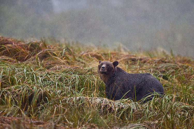 Grizzly Bear standing in the grass during a rain storm