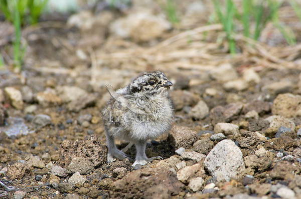 Young White-tailed Ptarmigan (Lagopus leucurus) chick.  Mount Rainier National Park, WA.  Summer.