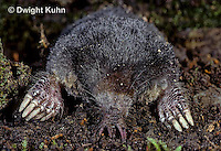 MB05-005x  Star-nosed Mole - digging in burrow - Condylura cristata