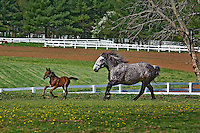 Mare and young colt running in paddock, Kentucky Horse Park, Lexington, Kentucky
