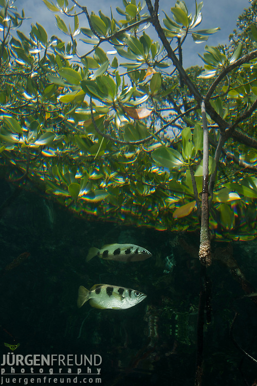 Banded Archerfish (Toxotes jaculatrix) in the mangroves. North Raja Ampat, West Papua, Indonesia