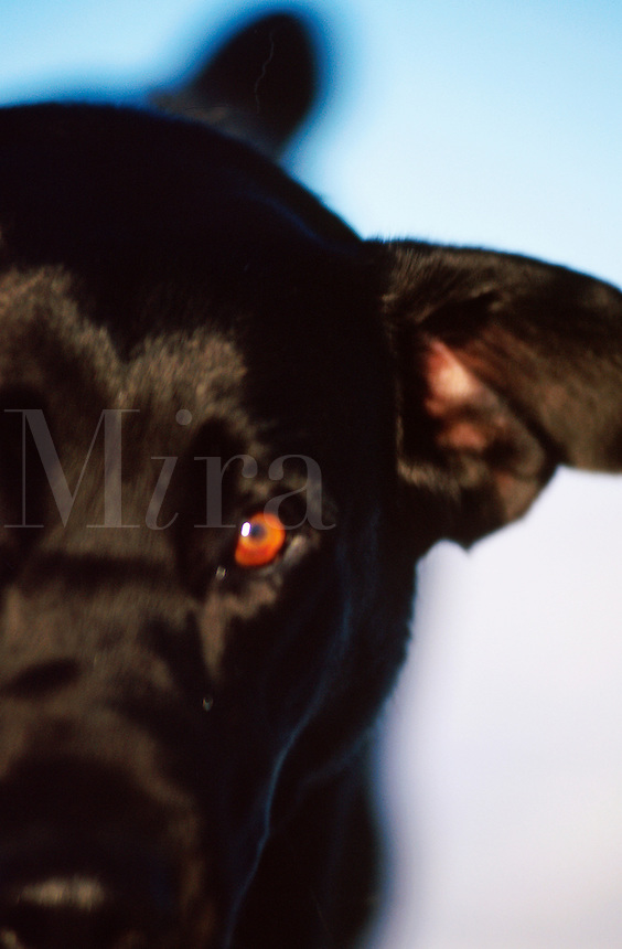 Close up of the face of a Black Labrador Dog.