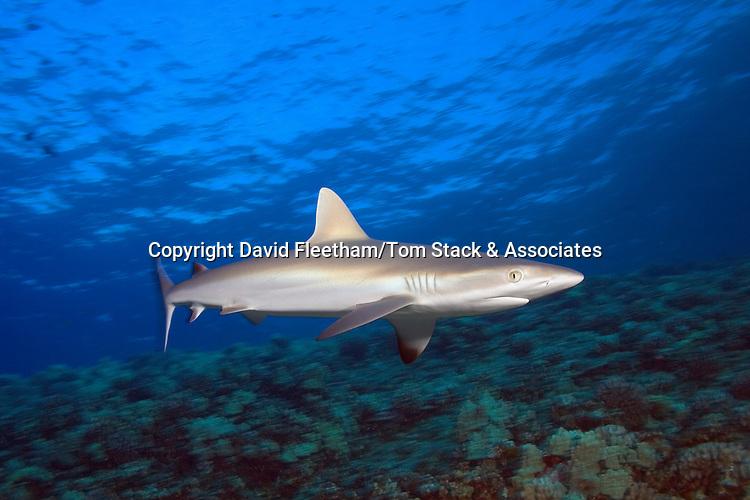 Juvenile grey reef shark, Carcharhinus amblyrhynchos,  Hawaii.