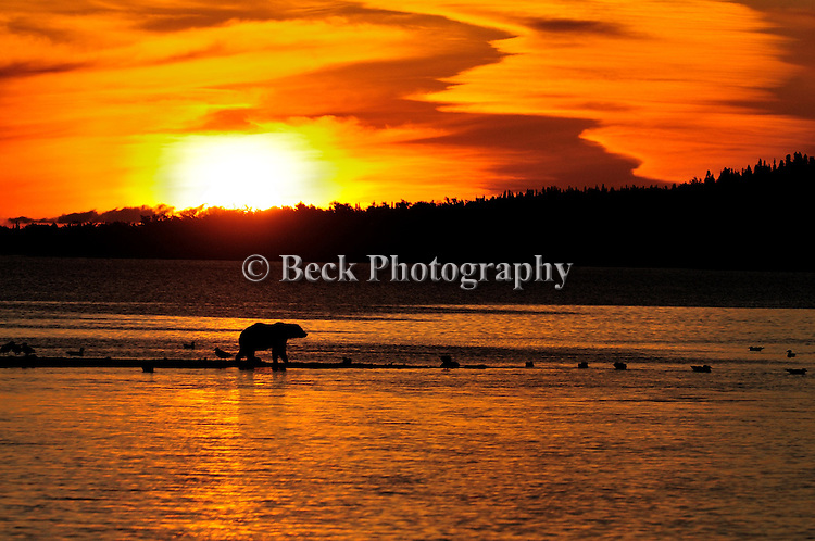 A grizzly bear, Ursus arctos horribilis,walks on the bank of the the river at sunset in search of salmon in Alaska.