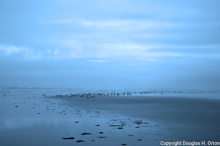 Gulls feed along the surf line on a grey dawn at Grayland Beach State Park, Washington.
