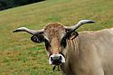 28/09/07 - MARGERIDE - HAUTE LOIRE - FRANCE - Vaches allaitantes AUBRAC - Photo Jerome CHABANNE