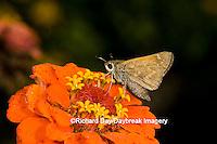03729-004.01 Sachem (Atalopedes campestris) female on Zinnia (Zinnia elegans) Marion Co.  IL