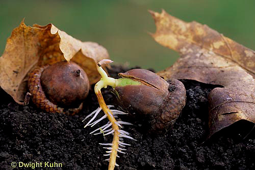 TT18-055a  Oak - acorn germinating, roots, soil profile - Quercus spp.
