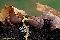 TT18-055a  Oak - acorn germinating, roots, soil profile - Quercus spp.