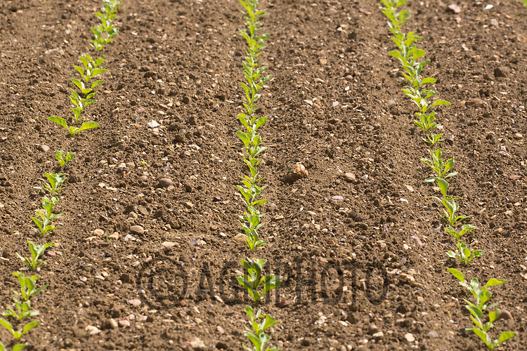 Young sugar beet plants<br /> ©Tim Scrivener Photographer 07850 303986<br /> ....Covering Agriculture In The UK....