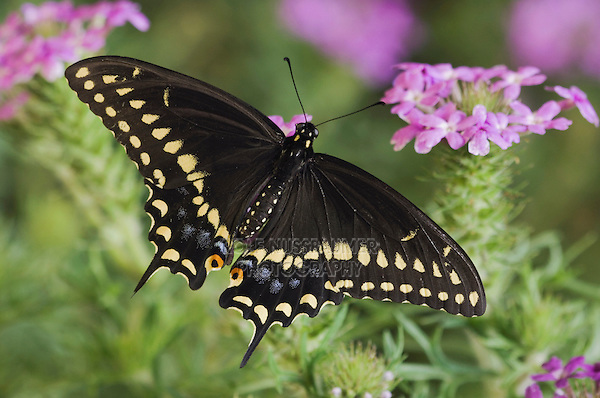 Black Swallowtail, Papilio polyxenes, adult on Prairie Verbena (Verbena bipinnatifida), Uvalde County, Hill Country, Texas, USA