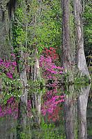Azaleas in bloom along pond, Magnolia Plantation near Charleston, South Carolina