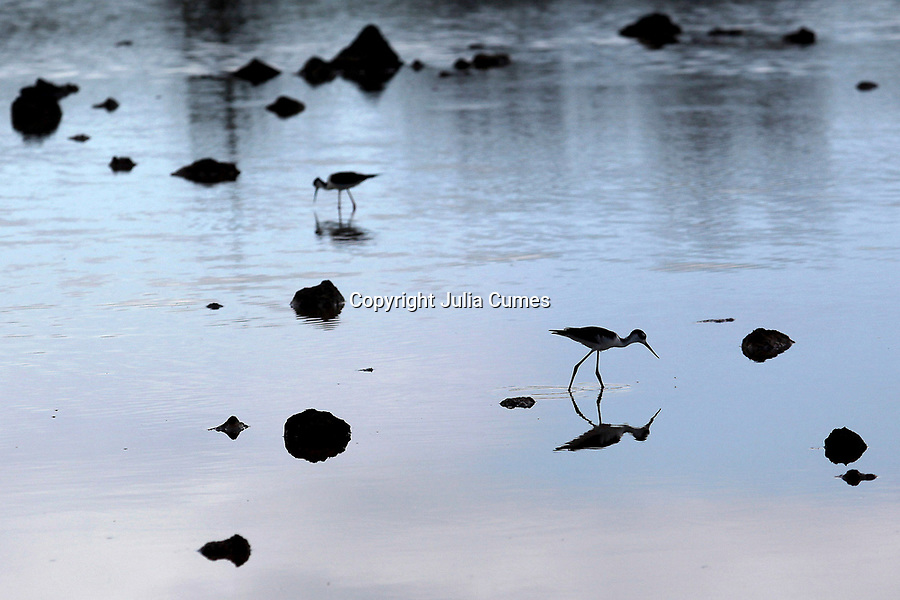Two black-necked stilts forage for small crabs, fish and snails in a brackish pond on Dragon Hill Island in the Galapagos.