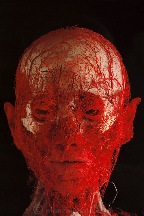 Blood vessels of an adult at Gunther von Hagens' Bodyworlds exhibit. Body Worlds is a traveling exhibit of real, plastinated human bodies and body parts. Von Hagens invented plastination as a way to preserve body tissue and is the creator of the Body Worlds exhibits.