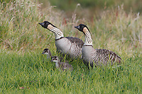 A nene (Hawaiian goose) family of four, Hawai'i.