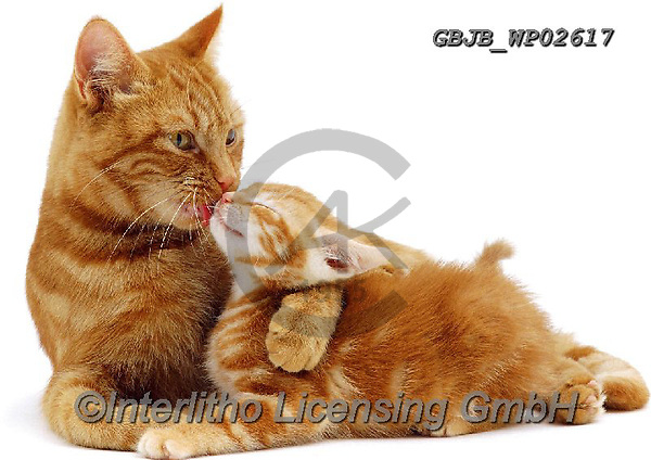 Kim, ANIMALS, REALISTISCHE TIERE, ANIMALES REALISTICOS, fondless, photos,+Red tabby Mother cat, Glenda, holding her red kitten while she licks his face.,ginger, cat, licking, kitten, red, tabby, moth+er, holding, her, while, she, licks, his, face, cats, pets, animals, shorthair, kittens, families, cute, adorable, lovely, lo+vable, white background++,GBJBWP02617,#a#, EVERYDAY