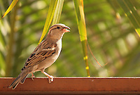 Stock image of a house sparrow with food grain in the bill.