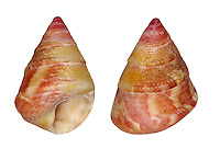 grooved top shell<br /> jujubinus striatus