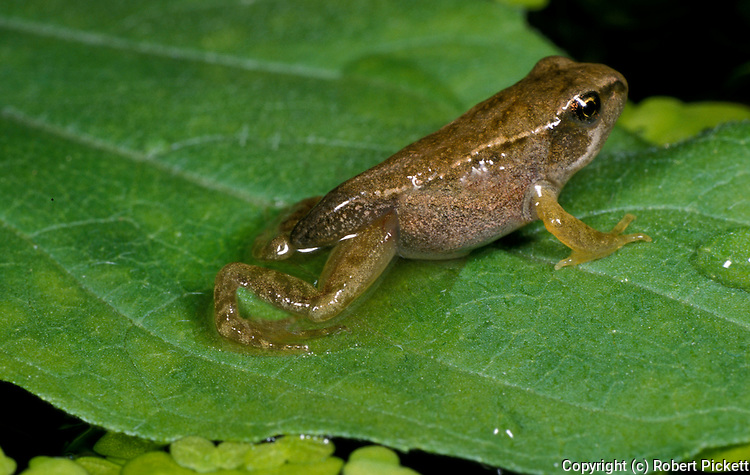 Common Frog, Rana temporaria, froglet with short stumpy tail, developement growth, lifecycle, pond.United Kingdom....