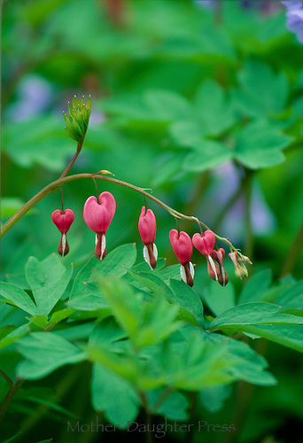 Bleeding heart flowers, Lamprocapnos spectabilis (formerly Dicentra spectabilis), on branch in the garden