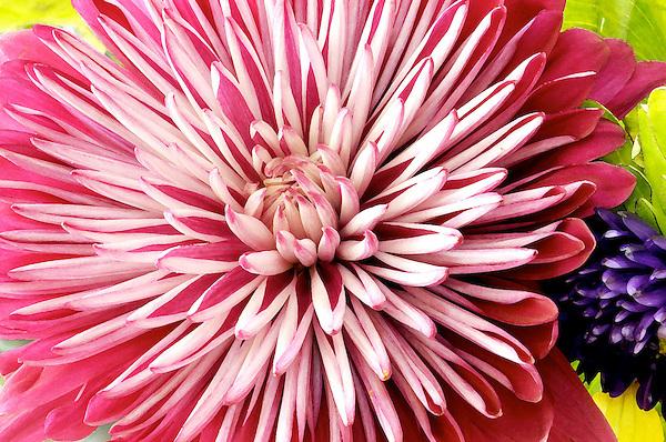 Brietners Supreme Chrysanthemum at Full Bloom