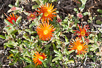 Mittagsblume, Malephora crocea, Hymenocyclus croceus, Mesembryanthemum croceum, Mesembryanthemum insititium, Crocea atropurpurea, Ice Plant, coppery mesembryanthemum, crocea iceplant, Coppery Mesemb, coppery iceplant, Gray Ice Plant, Aizoaceae, Mittagsblumengewächse, Eiskrautgewächse
