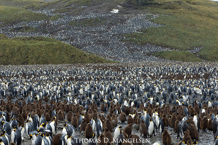 A king penguin colony in the Salisbury Plain area of South Georgia.