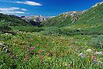 July 26, 2016 - Aspen, Colorado, U.S. -  Brilliant rosy paintbrush is in abundance during the height of wildflower season along the Lost Man Trail in the Hunter-Fryingpan Wilderness Area near Aspen, Colorado.