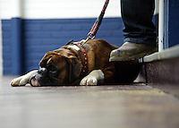 A Boxer dog lying on a wooden floor, Carlisle Cattle Market, Cumbria.