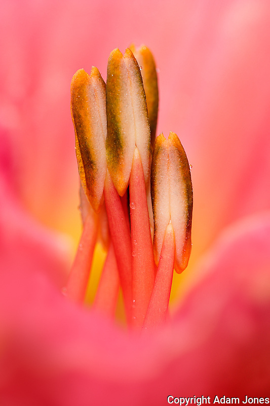 Hybrid daylily stamen, consisting of anthers and.filaments, Louisville, Kentucky