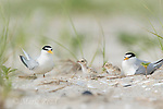 Least Terns (Sterna antillarum) adults with two chicks at nest, Nickerson Beach, Long Island, New York, USA