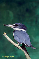 KG01-024x  Belted Kingfisher - male perched along stream - Megaceryle alcyon