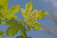 Feld-Ahorn, Feldahorn, Feld - Ahorn, Blüten und frische Blätter, Blatt, Blüte, Acer campestre, Field Maple, Hedge Maple, Erable champêtre