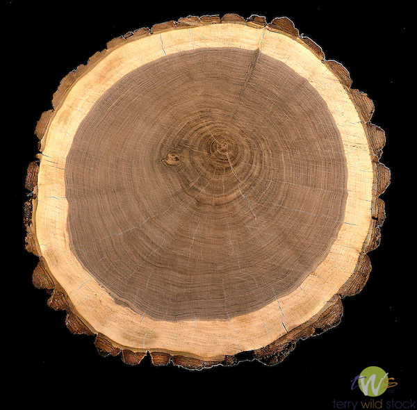 Walnut tree cross section illustrating growth rings