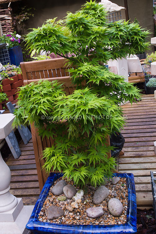 Japanese maple tree in container blue ceramic pot planter on deck Acer palmatum